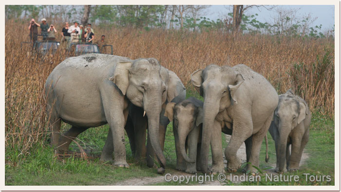Elephant Herd with many young Calfs, Kaziranga National Park, April 2011