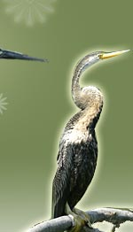 Darter, Bharatpur Bird Tour