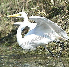 Eagret - Bharatpur, Bird Watching India, India Birding Tour
