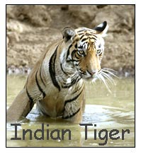 Tiger Tours India, Indian Tiger Tours, Tiger Safari India
