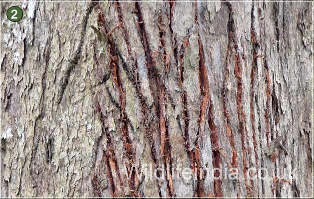 Tiger claws on the bark of the tree at Kaziranga National Park