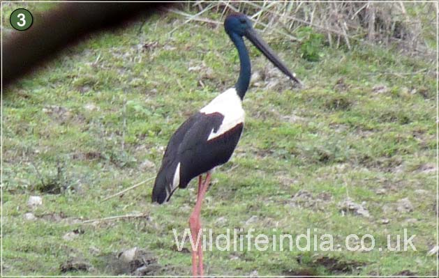 Black Neck Stork at Kaziranga National Park