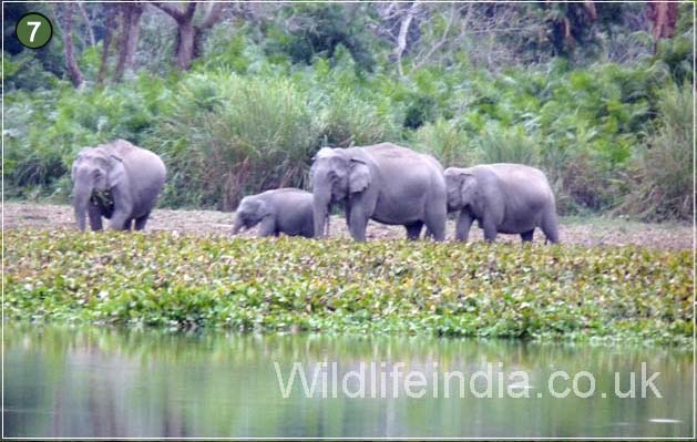 Herds of Elephants at Kaziranga National Park