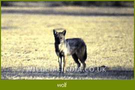 Indian Wolf, Wolf Family of India