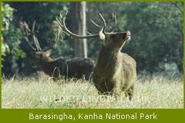 BaraSingha, Kanha National Park