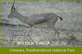 Blackbuck or Indian Antelope, National Parks Tours of India,