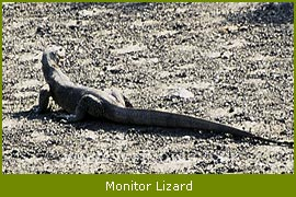 Monitor Lizard, Sunderban NAtional Park