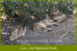 gir sanctaury Gir forest national park and wildlife sanctuary in junagadh: get tour & weather information on gir forest national park and wildlife sanctuary also find out attractions, sightseeing, weather, maps, nightlife, festivals & photos at travelindiacom.