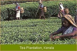Quail Farming Kerala http://greenleaveschits.co.in/admin/plantation-in ...