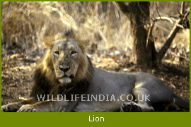 Asiatic Lion, Gir Wildlife Sanctuary and National Park